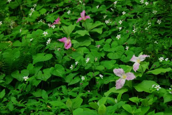 Trillium grandiflora at Longwood