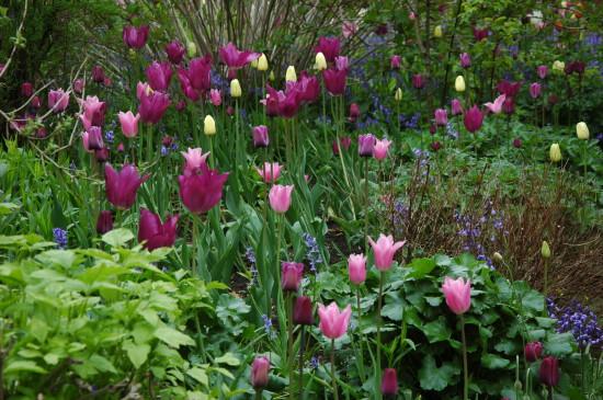 Hidcote tulips in Old Garden (1)