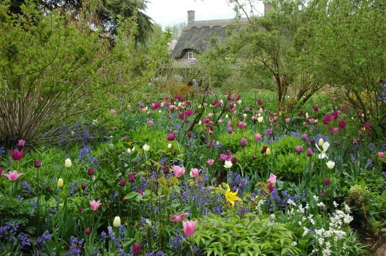 Hidcote tulips in Old Garden (5)