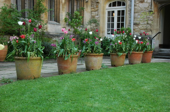 Oxford college tulips (1)