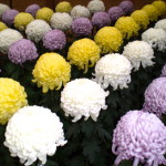 Chrysanthemums in Japan
