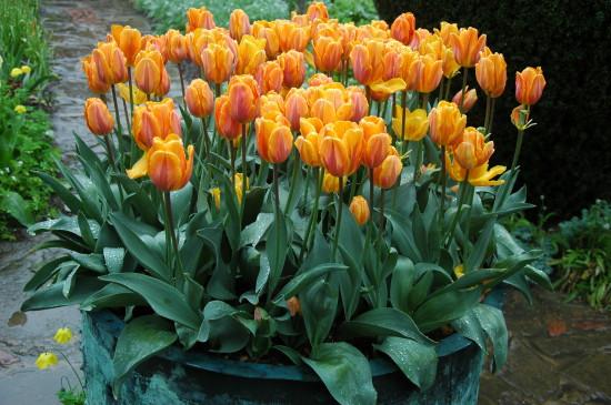 Sissinghurst tulips close