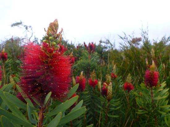 Albany bottlebrush, Callistemon speciosus