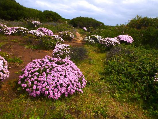Pink Rice Flower, Pimelea ferruginea