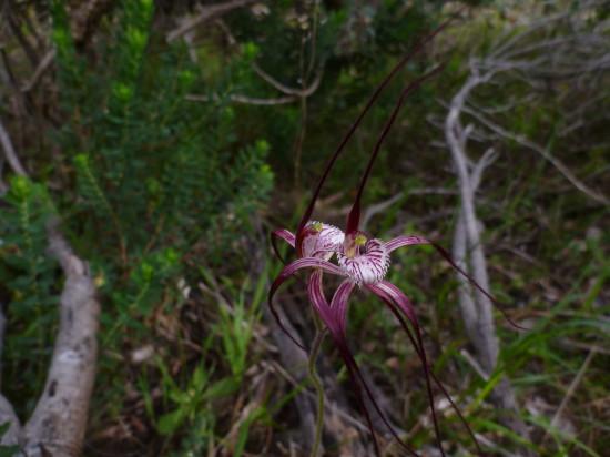 Chapman's Spider Orchid, Caladenia chapmanii