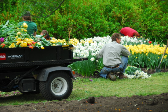 Longwood Gardens tulips