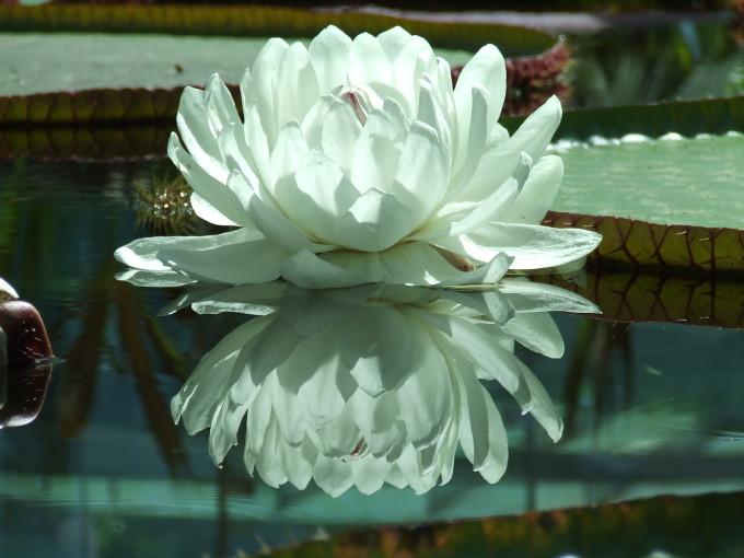 Amazonica lily