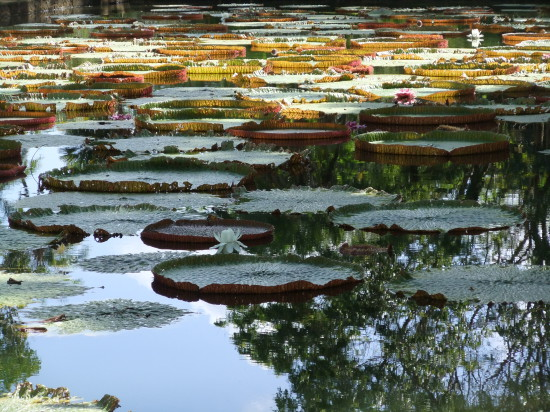 Amazon lily Mauritius Botanic Garden