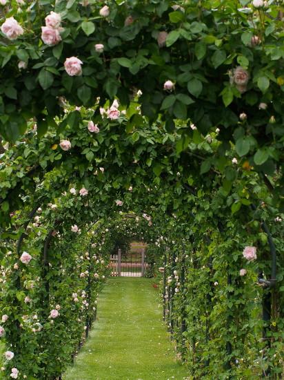 Souvenir de Malmaison allee, Heritage Garden