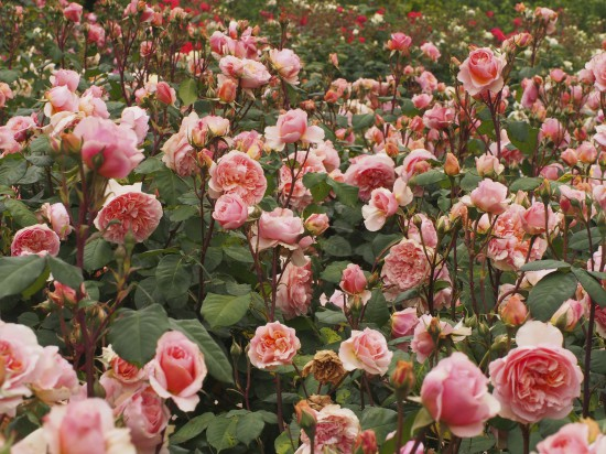 Versigny rose