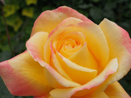 Dame Elisabeth Murdoch rose
