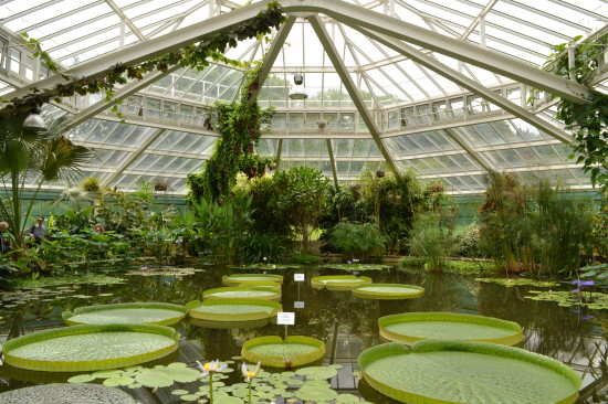 Victoria amazonica Brussels