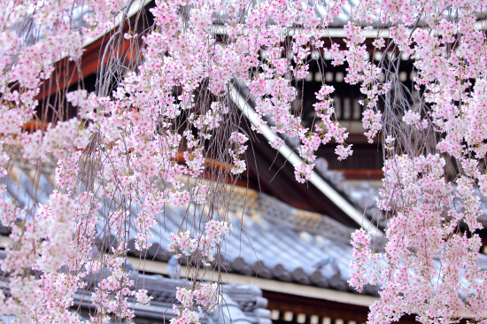 Prunus subhirtella Pendula with japanese architecture in bg shutterstock_177355043