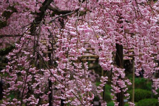 pic10-japan-cherries-kyoto-rosea-pendula_LR_0032