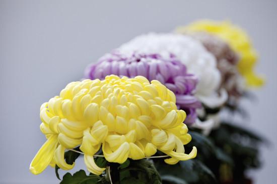 The regal Chrysanthemum. Photo - KPG Payless/Shutterstock.com
