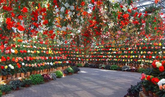 Incredible begonias. Photo - Nagashima Onsen.co