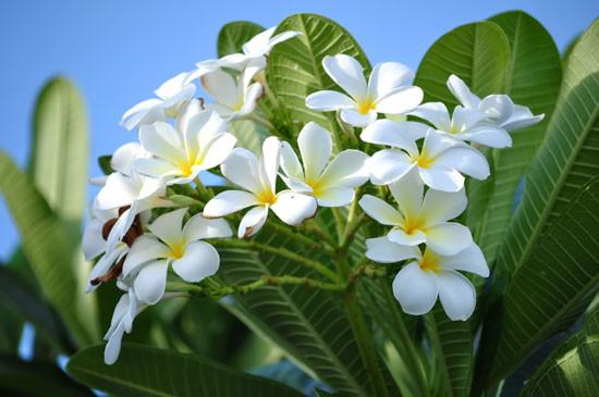 Tropical frangipani Plumeria obtusa. Photo - MaZiKab/Shutterstock