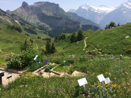 The Alpine Garden is run as a scientific botanical garden with the largest possible number of species and subspecies of alpine flora from Switzerland. Plants are displayed in their natural communities.