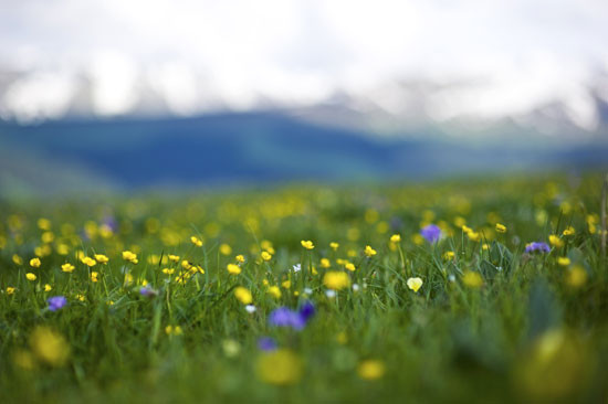 Where nutrients are plentiful vegetation may be extremely luxuriant. In one short mountain summer the fleshy stems grow tall, flower and produce seed.
