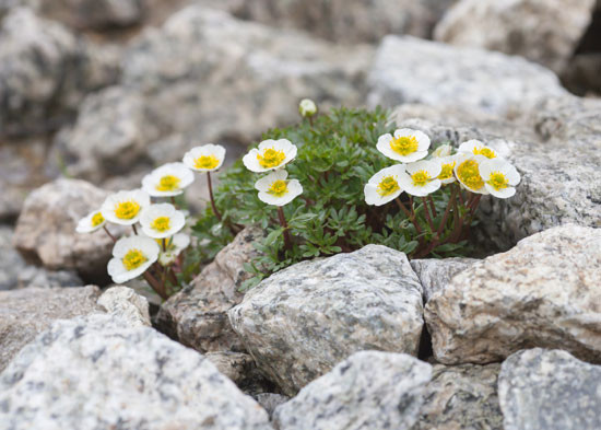 From the distance, it looks very hostile to vegetation, however, on closer inspection, you can see many little plants that are well adapted to the location growing from small cracks and crevices in the rock. Alpine anemone (Pulsatilla alpine) has deeply divided, hairy leaves and more upright flowers than other species of Pulsatilla, which generally have drooping flowers. The white flowers are produced very early, often opening while still under snow cover. They have prominent yellow stamens. As with all pasque flowers, the flowers have a silky, hairy texture, and are followed by prominent seed heads which persist on the plant for many weeks