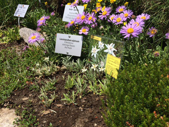 Pink alpine asters with white edelweiss are planted at the entrance to the Garden.