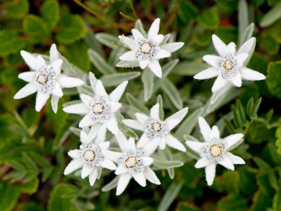Edelweiss require specific ecological conditions; climate, geology, soil composition, water and nutrient.