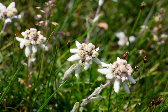 Leontopodium alpinum (edelweiss) is a well-known mountain flower, belonging to the Asteraceae. The plant is unequally distributed and prefers rocky limestone places at about 1800–3000 m altitude.
