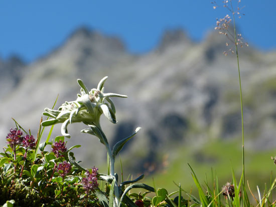 Solitary Edelweiss. Photo - By Paul/Shutterstock.com