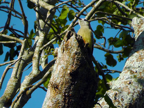 The west-indian woodpecker is one of the many birds nesting in the extensive arboretum.