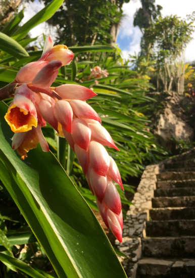 One of the many shell ginger thriving on the lower lawn of the Orchidario garden. Photo - Linda Ross