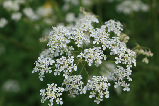 Cow parsley. Photo - Colin Barlow