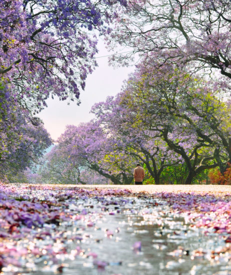 Beautiful Jacaranda-lined streets are a common feature in eastern Australian towns in November. Photo -Orangecrush / Shutterstock.com