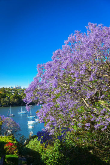 Jacarandas are particularly beautiful from the water. Photo - Hamilton Lund
